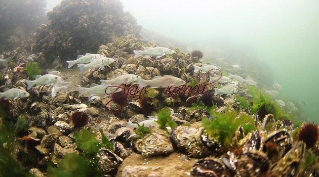 6 bin balık Körfez'e salındı